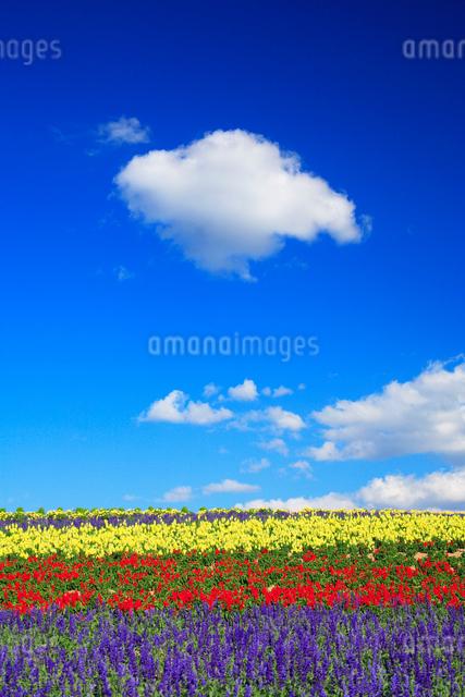 マリーゴールドとサルビアの花畑の写真素材 [FYI01523483]