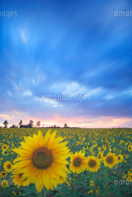 ヒマワリ畑と流れる雲の写真素材 [FYI01523484]