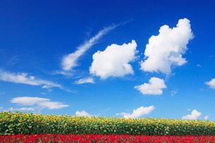 ヒマワリとサルビアの花畑の写真素材 [FYI01523505]