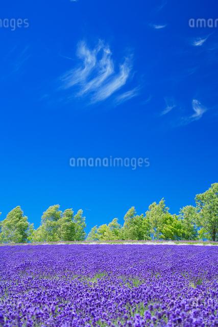 ラベンダー畑とすじ雲の写真素材 [FYI01523520]