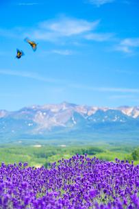 ラベンダーと十勝岳と飛翔するキアゲハの写真素材 [FYI01523529]