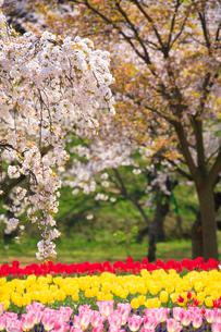 桜とチューリップ畑の写真素材 [FYI01523538]