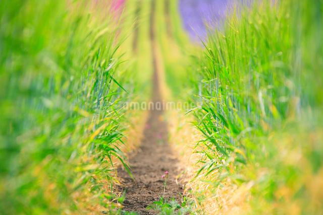 青麦の穂と小町草の写真素材 [FYI01523547]