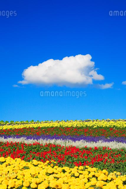 マリーゴールドとサルビアの花畑の写真素材 [FYI01523563]