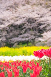 チューリップ畑と桜の写真素材 [FYI01523565]
