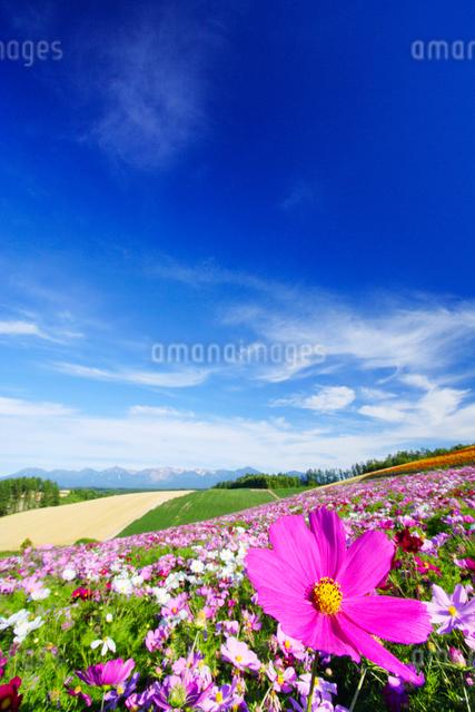 コスモス畑と十勝連峰の写真素材 [FYI01523573]