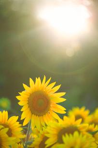 ヒマワリと光芒の写真素材 [FYI01523576]