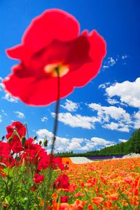 ポピーの花畑の写真素材 [FYI01523603]