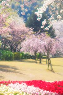桜とチューリップ畑の写真素材 [FYI01523613]