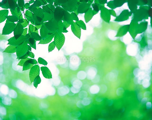 ブナの若葉の写真素材 [FYI01523614]