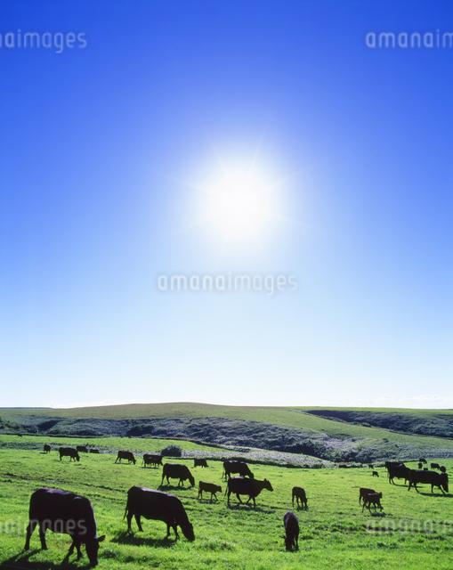 黒毛和牛と太陽の写真素材 [FYI01523661]