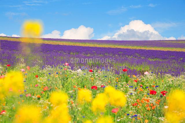 ラベンダーと菜の花畑の写真素材 [FYI01523671]