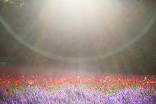 ポピーとラベンダーの花畑と光芒の写真素材 [FYI01523693]