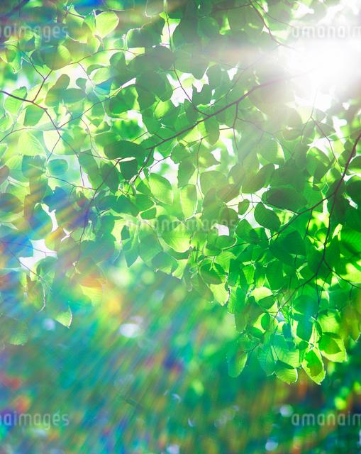 ブナの若葉と木もれ日の写真素材 [FYI01523700]