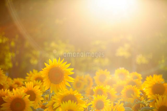 ヒマワリと光芒の写真素材 [FYI01523703]