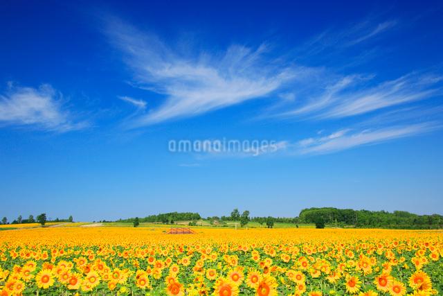 ヒマワリ畑の写真素材 [FYI01523720]