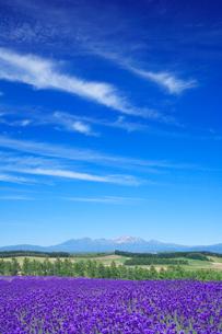 ラベンダー畑と大雪山の写真素材 [FYI01523737]