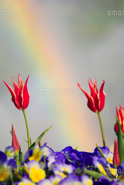 チューリップと虹の写真素材 [FYI01523739]