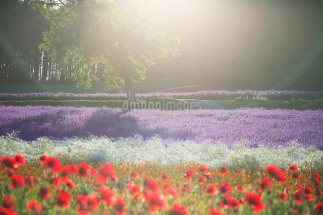 ポピーとラベンダーの花畑と光芒の写真素材 [FYI01523749]