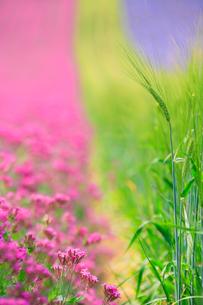 青麦の穂と小町草の写真素材 [FYI01523770]