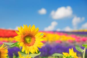 ヒマワリとラベンダーの花畑の写真素材 [FYI01523772]