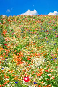 ポピーの花畑の写真素材 [FYI01523787]