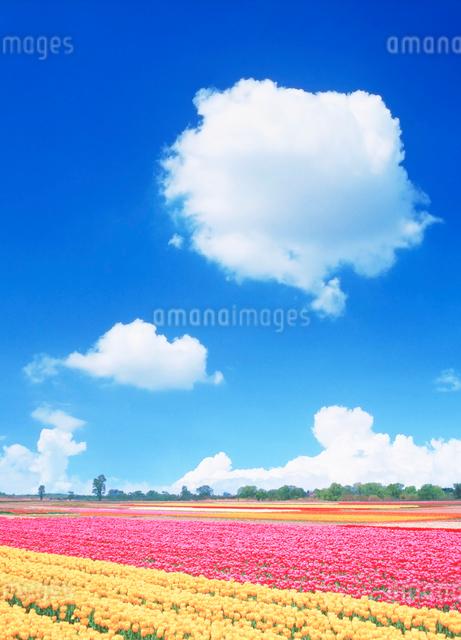 チューリップ畑の写真素材 [FYI01523791]