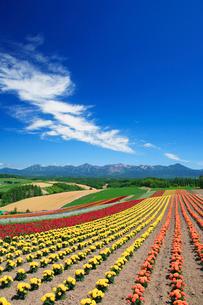 マリーゴールドの花畑と十勝連峰の写真素材 [FYI01523796]