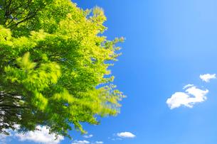 モミジの新緑と雲の写真素材 [FYI01523806]