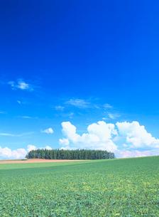 小豆畑とカラマツ木立の写真素材 [FYI01523813]