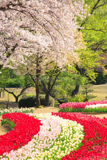 桜とチューリップ畑の写真素材 [FYI01523827]