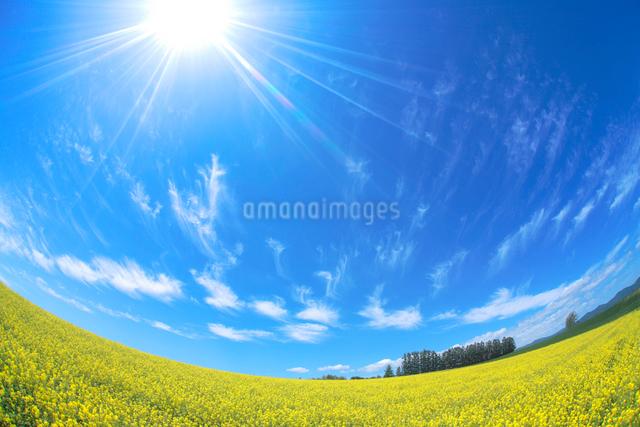 菜の花畑とカラマツ並木の写真素材 [FYI01523852]