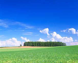 小豆畑とカラマツ木立の写真素材 [FYI01523866]