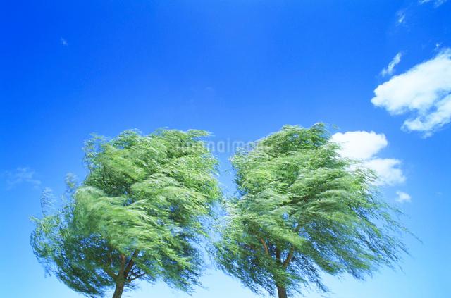 風に揺れる柳の写真素材 [FYI01523888]