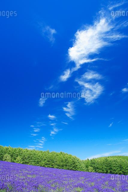 ラベンダー畑とすじ雲の写真素材 [FYI01523892]