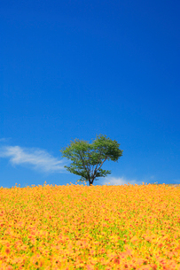 オオキンセンカとハート型の立木の写真素材 [FYI01523910]