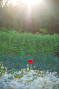 カスミソウとポピーの花畑と光芒の写真素材 [FYI01523931]
