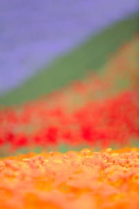 カリフォルニアポピーの花畑の写真素材 [FYI01523932]