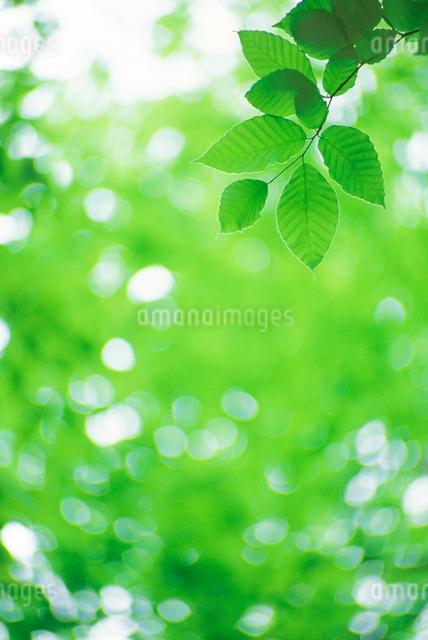 ブナの若葉の写真素材 [FYI01523934]