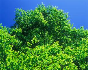 新緑のブナの写真素材 [FYI01523973]