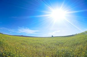 菜の花畑とラベンダー畑の写真素材 [FYI01524040]