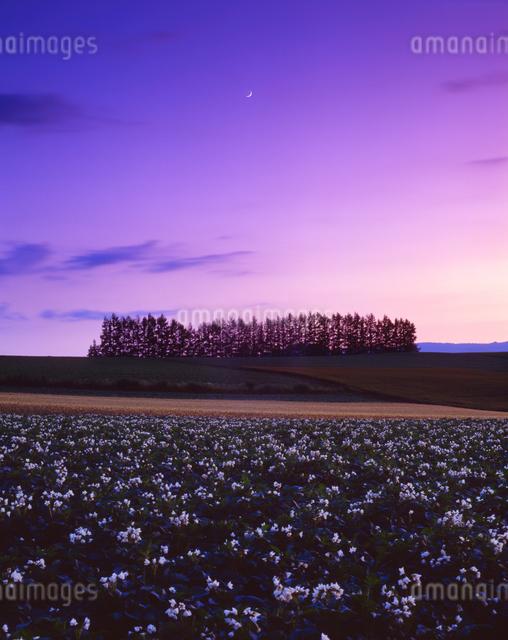 花咲くジャガイモ畑と木立夕景の写真素材 [FYI01524055]