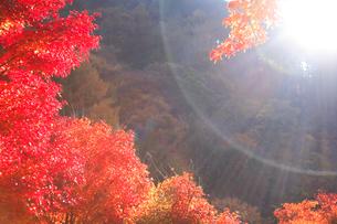 紅葉のモミジ林と木漏れ日の写真素材 [FYI01524066]