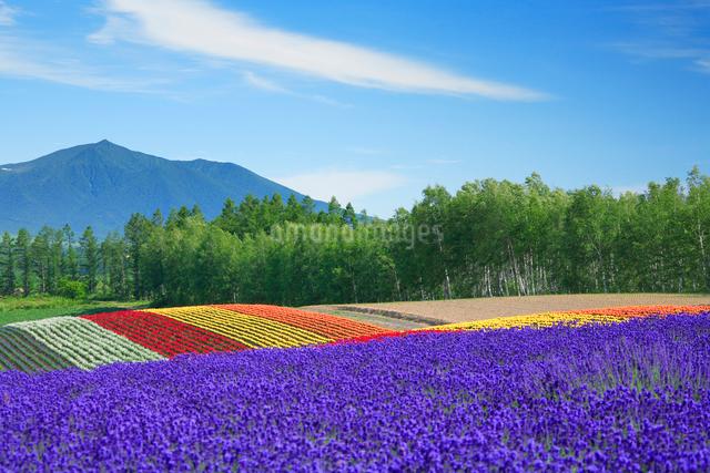 ラベンダー畑と前富良野岳の写真素材 [FYI01524078]