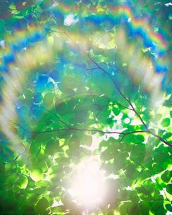 ブナの若葉と木もれ日の写真素材 [FYI01524094]