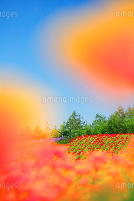 ポピーとカリフォルニアポピーの花畑の写真素材 [FYI01524124]