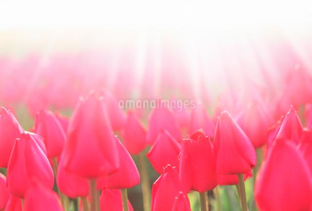 チューリップと朝の光の写真素材 [FYI01524146]
