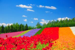 ポピーとカリフォルニアポピーの花畑の写真素材 [FYI01524151]