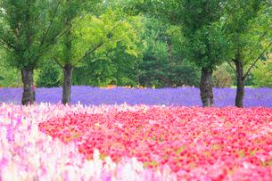 カリフォルニアポピーの花畑の写真素材 [FYI01524152]