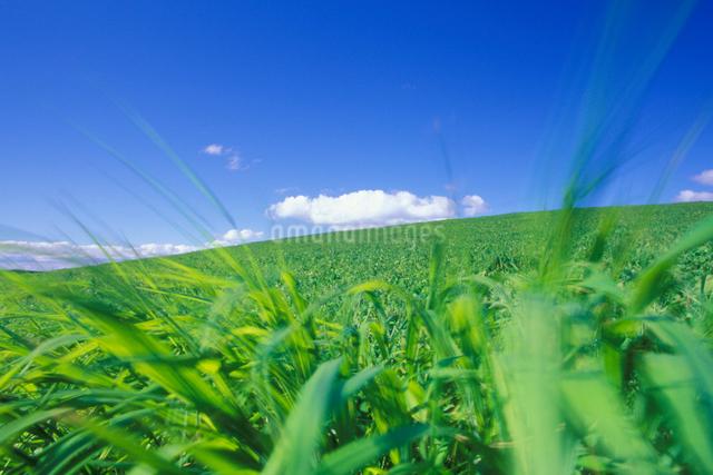 風に揺れる牧草の写真素材 [FYI01524157]